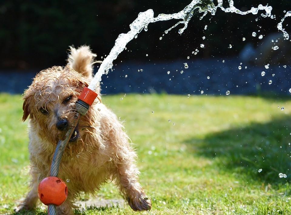 Dog holding a hose